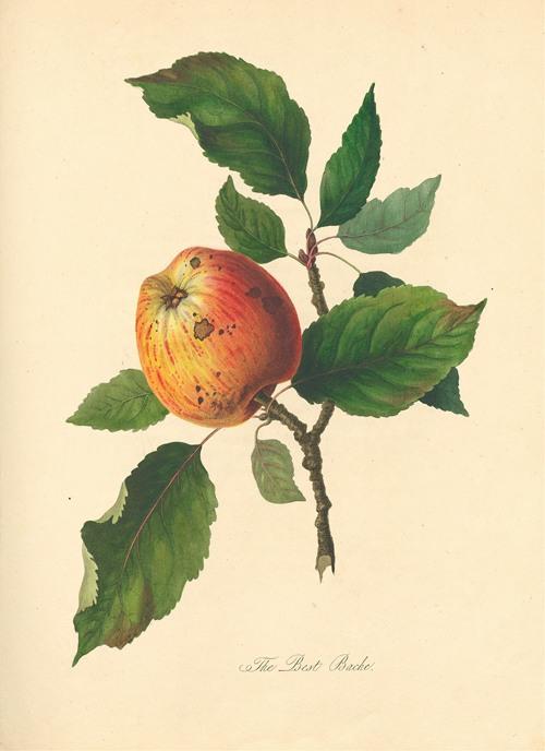 Best Bache (1811)