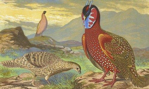 Horned Pheasants (1871)
