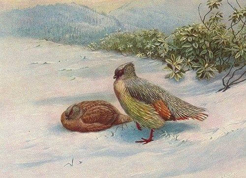 Northern Blood Partridge (1918-1922)