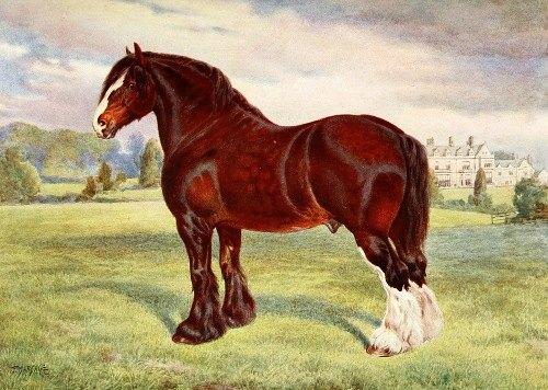 Shire Stallion, Harold