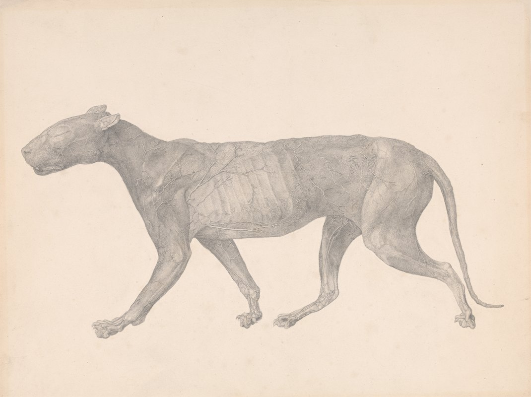 George Stubbs - Tiger, Lateral View, with Skin and Tissue Removed