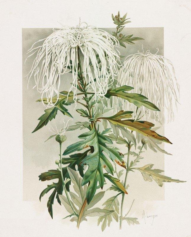 Alois Lunzer - Medusa Chrysanthemum