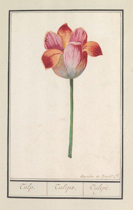 Anselmus Boëtius de Boodt - Tulp (Tulipa)