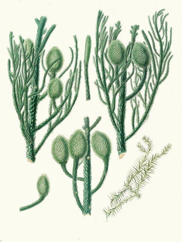 Aylmer Bourke Lambert - Araucaria Cunninghamii = Moreton Bay pine.