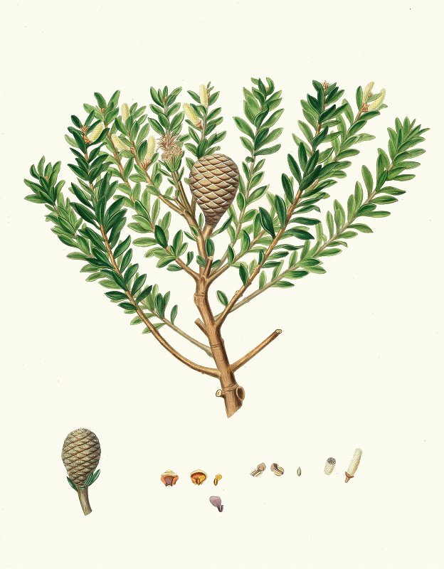 Aylmer Bourke Lambert - Dammara Australis = New Zealand pitch tree, or Cowrie