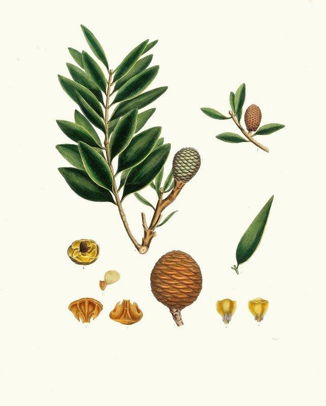 Aylmer Bourke Lambert - Dammara orientalis = Amboyna pitch tree