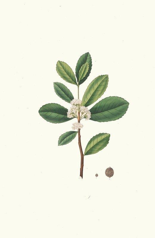 Aylmer Bourke Lambert - Ilex Paraguensis (miniatute branch with white flowers)
