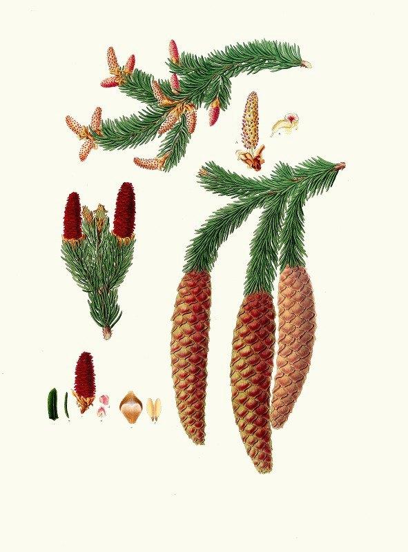 Aylmer Bourke Lambert - Pinus abies = Norway spruce fir