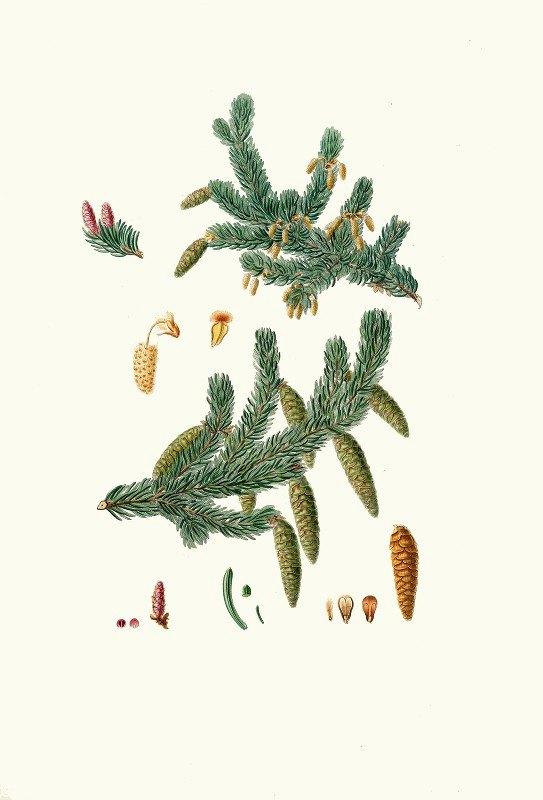 Aylmer Bourke Lambert - Pinus alba = Whit spruce fir