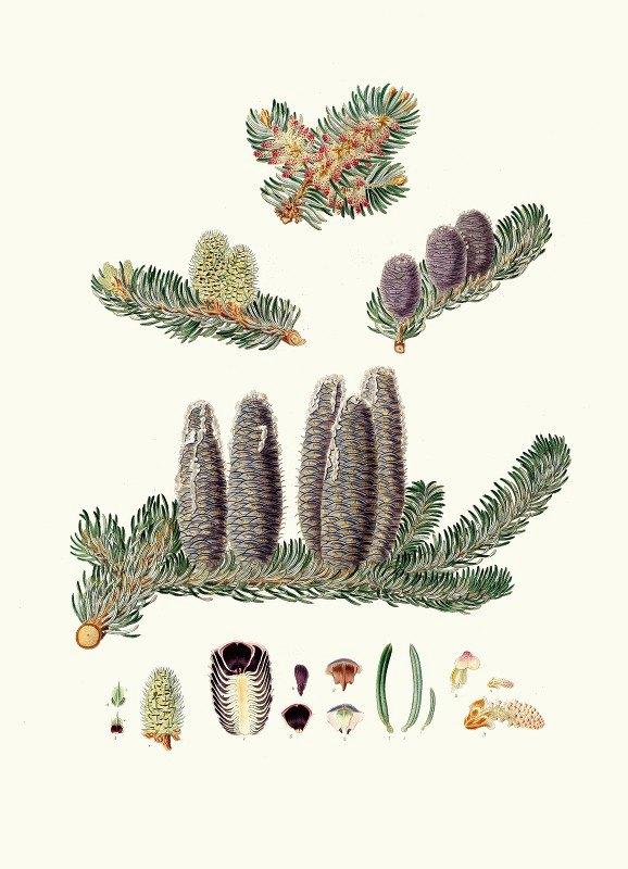 Aylmer Bourke Lambert - Pinus Balsamea = Balm of Gilead fir