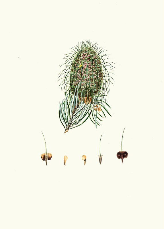Aylmer Bourke Lambert - Pinus bracteata = Leaf-bracted fir.