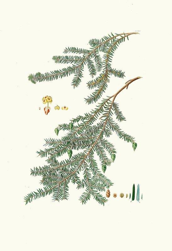 Aylmer Bourke Lambert - Pinus canadensis = Canada pine