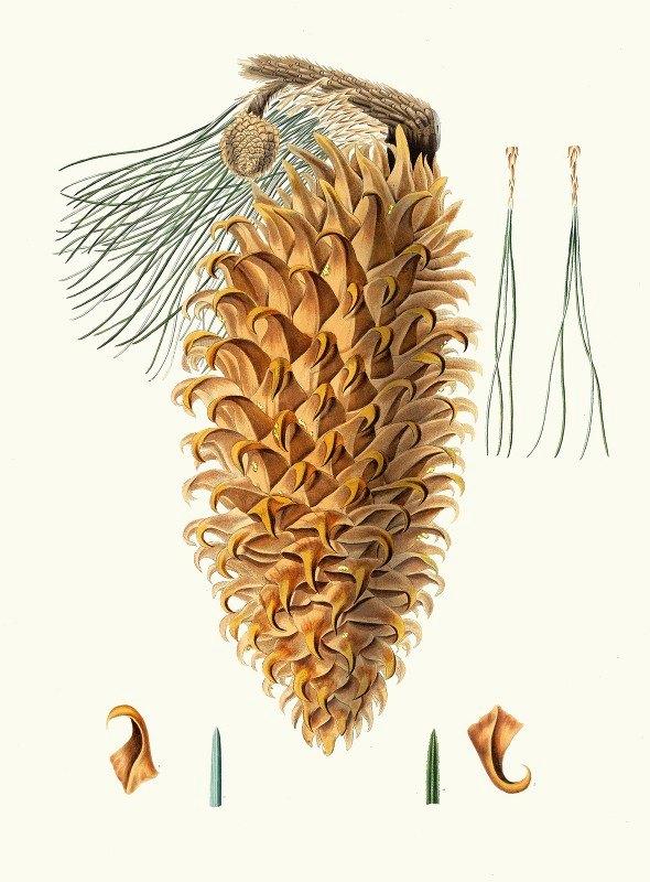 Aylmer Bourke Lambert - Pinus coulteri = Great-hooked pine. [Big-cone pine]