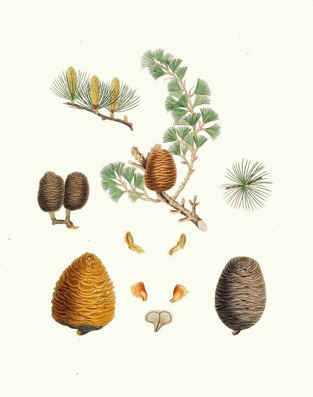 Aylmer Bourke Lambert - Pinus deodara = Indian cedar