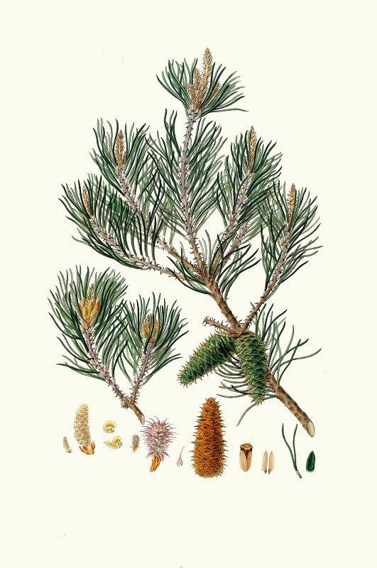 Aylmer Bourke Lambert - Pinus inops = Jersey pine