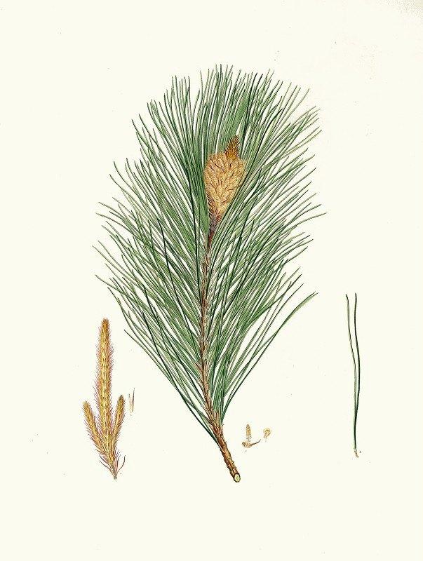 Aylmer Bourke Lambert - Pinus massoniana = Indian pine