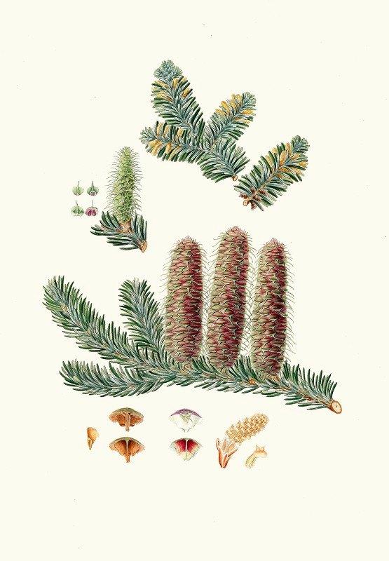 Aylmer Bourke Lambert - Pinus picea = Silver fir