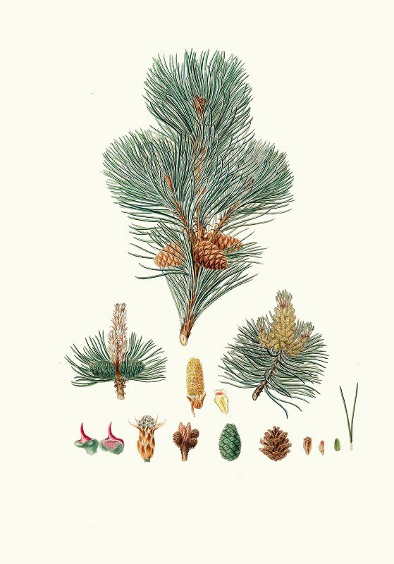 Aylmer Bourke Lambert - Pinus pumilio = The mugho, or Mountain pine.