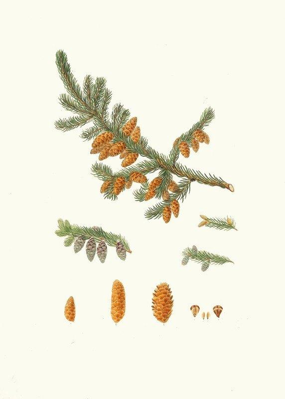 Aylmer Bourke Lambert - Pinus rubra = Newfoundland red pine
