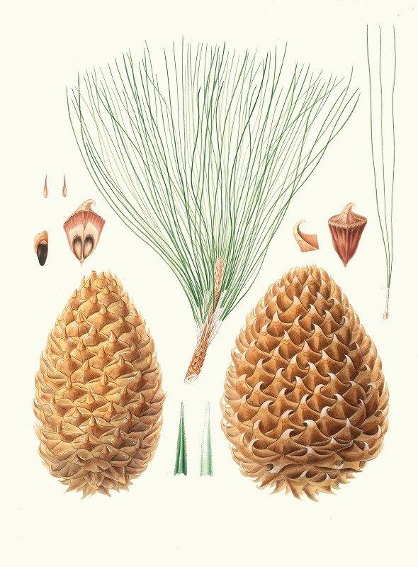 Aylmer Bourke Lambert - Pinus sabiniana = Great prickly-coned pine. [Digger pine]