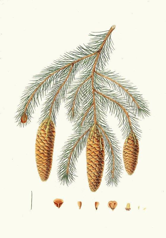 Aylmer Bourke Lambert - Pinus Smithiana = Himalayan spruce fir.