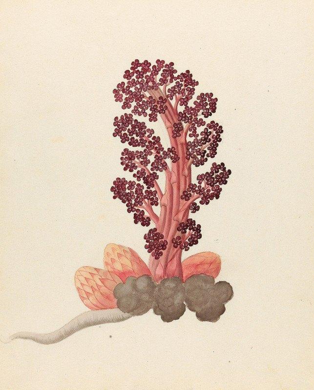 Clemenz Heinrich Wehdemann - Aphyteia hydnora  [Nymphaea nouchali]