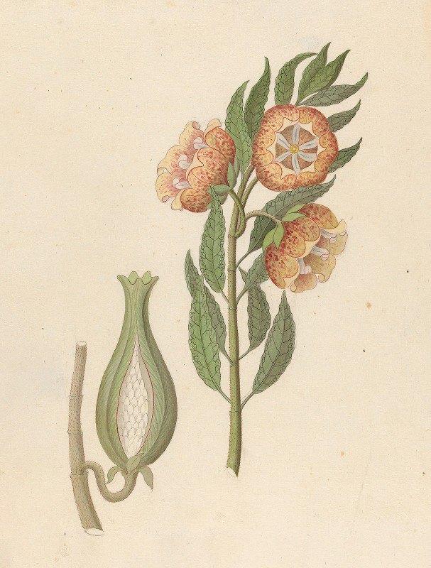 Clemenz Heinrich Wehdemann - Asclepias grandiflora [Pachycarpus grandiflorus]