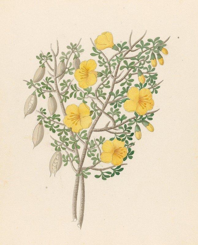 Clemenz Heinrich Wehdemann - Bignoniae Nova Specie [Rhigozum obovatum]