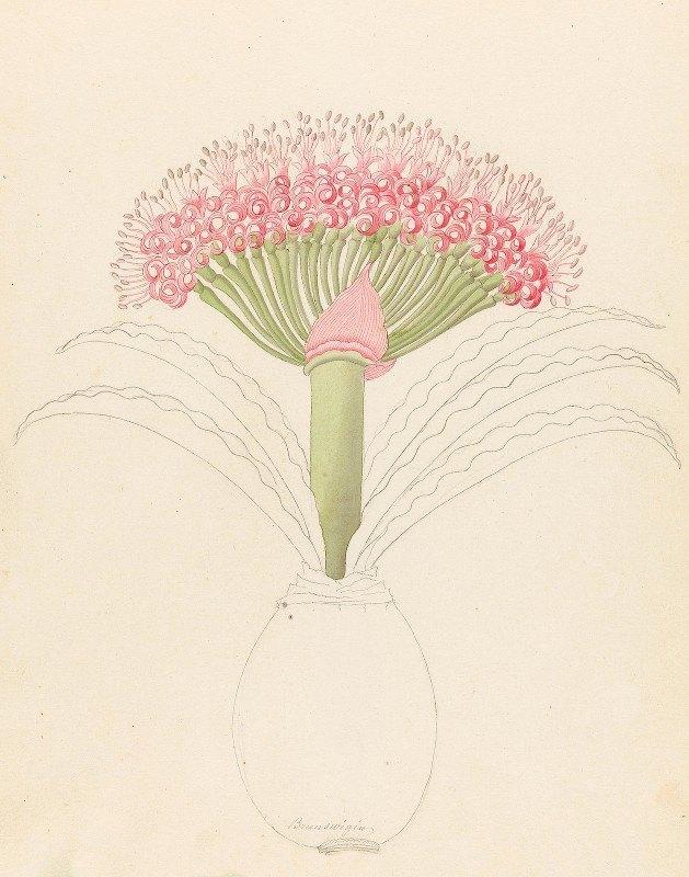 Clemenz Heinrich Wehdemann - Brunswigia [Brunsvigia grandiflora]