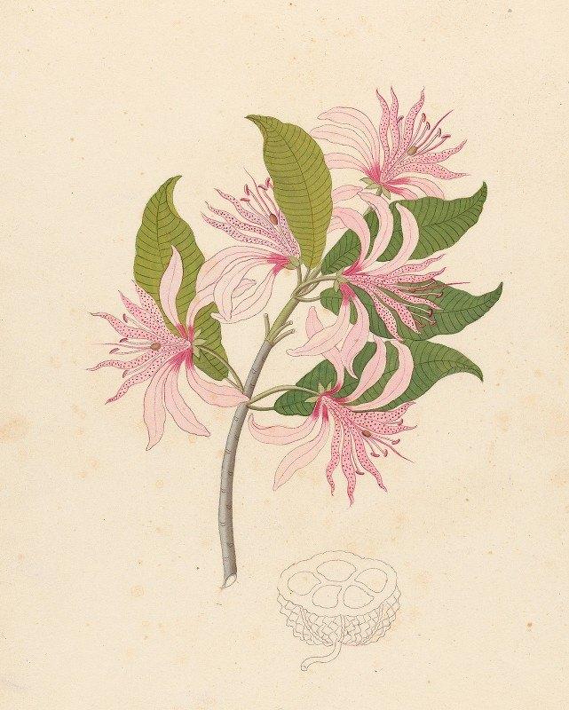 Clemenz Heinrich Wehdemann - Calodendrum capense