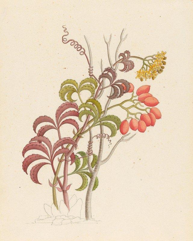 Clemenz Heinrich Wehdemann - Cisfus Nov. Sp. [Cyphostemma quinatum]