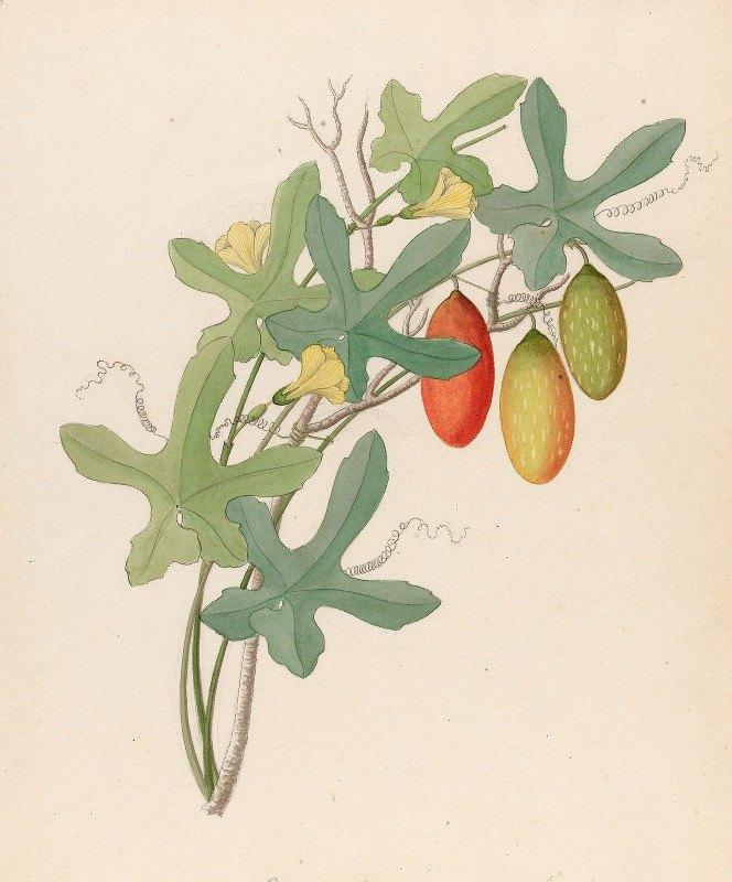 Clemenz Heinrich Wehdemann - Cucumis, Melothria pendula [Coccinea quinqueloba]