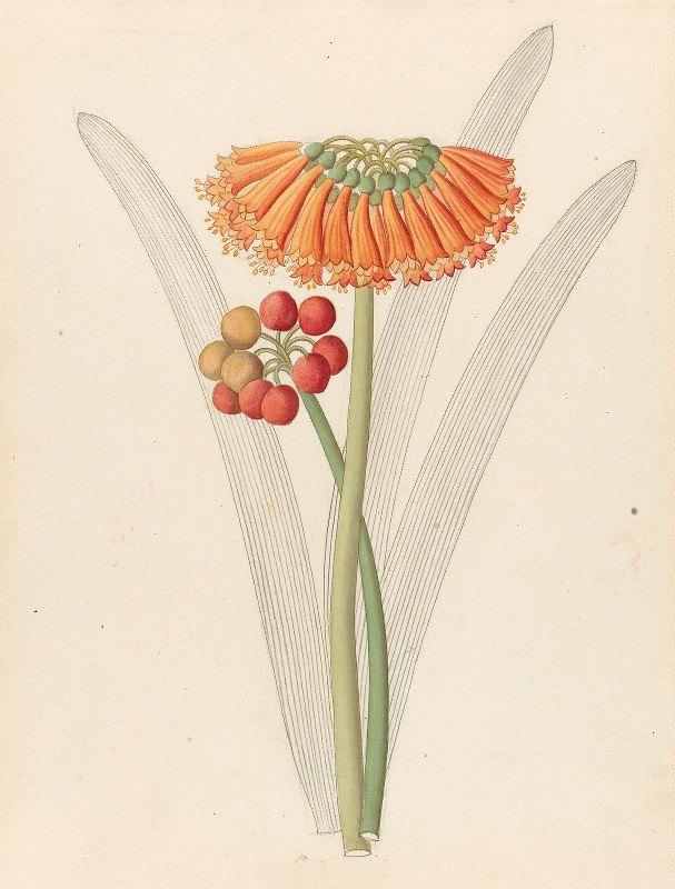 Clemenz Heinrich Wehdemann - Cyrtanthus [Clivia nobilis]