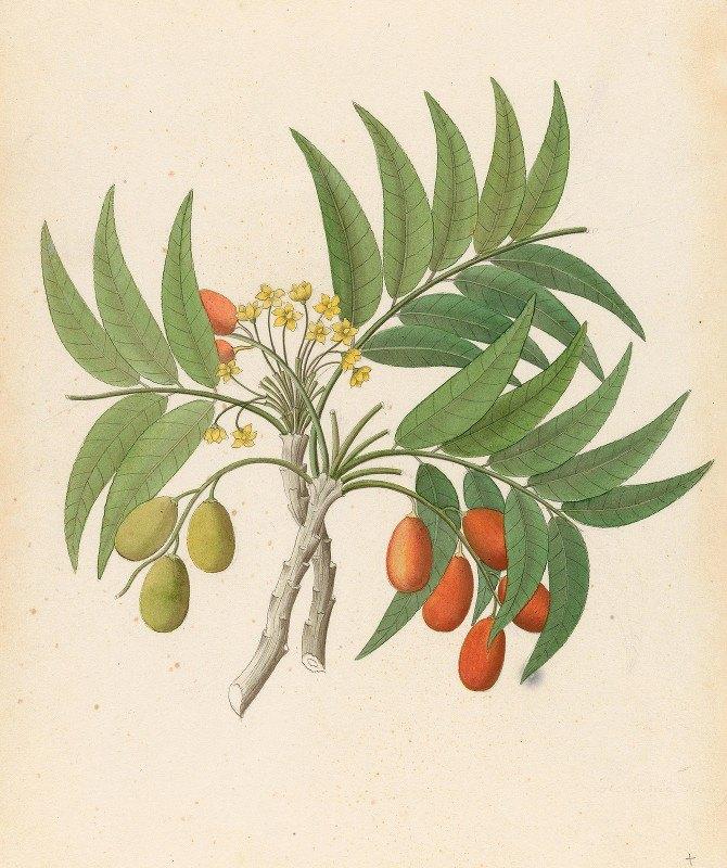Clemenz Heinrich Wehdemann - Decandria Mon. [Harpephyllum caffrum]