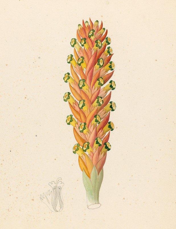 Clemenz Heinrich Wehdemann - Didinamia angiosperma [Harveya hyobanchoides]
