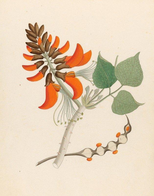 Clemenz Heinrich Wehdemann - Erythrina Caffras