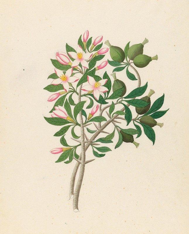 Clemenz Heinrich Wehdemann - Gardenia Nov. Sp. [Hyperacanthus amoenus]