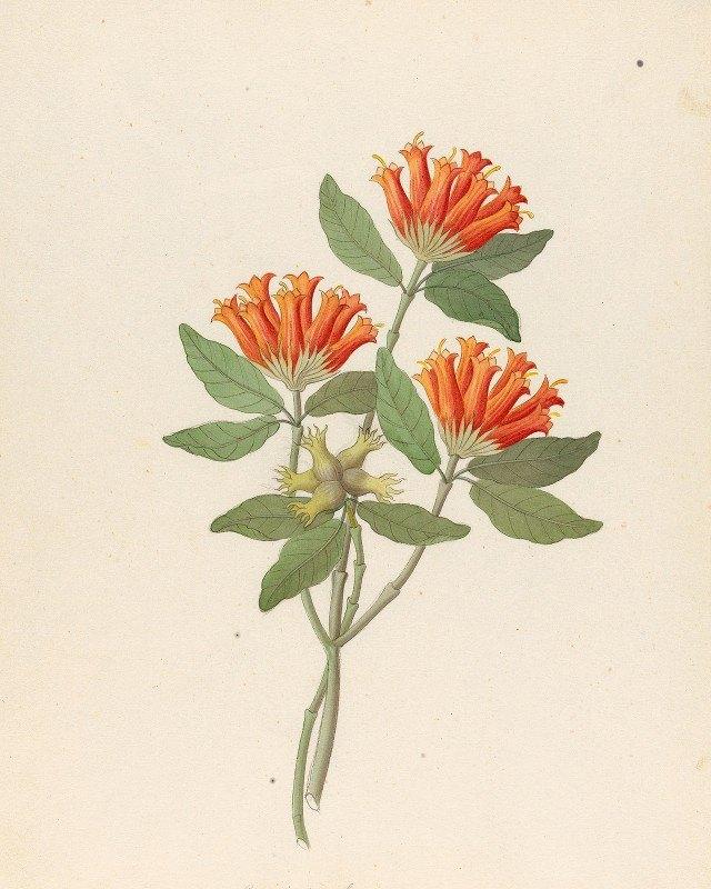 Clemenz Heinrich Wehdemann - Gardenia Nova Sp. [Burchellia bubalina]