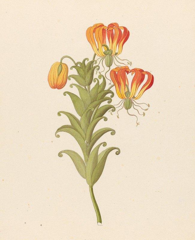 Clemenz Heinrich Wehdemann - Gloriosa [Gloriosa superba]