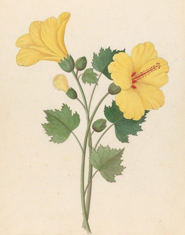 Clemenz Heinrich Wehdemann - Hibiscus [Hibiscus calyphyllus]