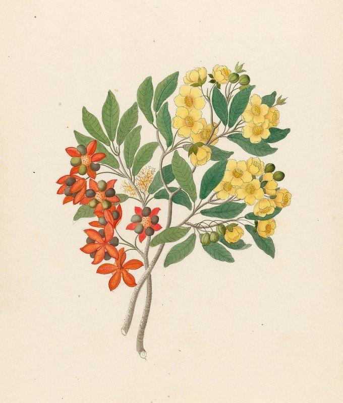 Clemenz Heinrich Wehdemann - Icosandria monog. [Ochna arborea]