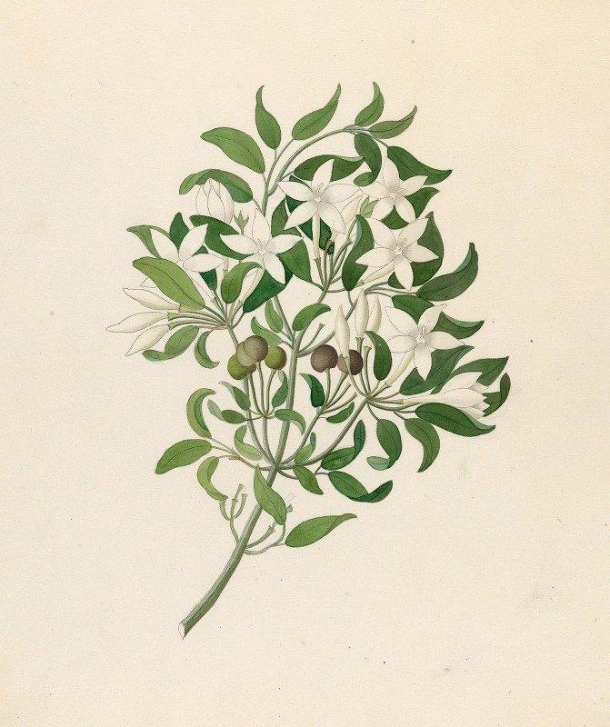Clemenz Heinrich Wehdemann - Jasminum angulare