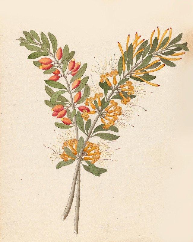 Clemenz Heinrich Wehdemann - Loranthus N. Sp. [Moquiniella rubra]