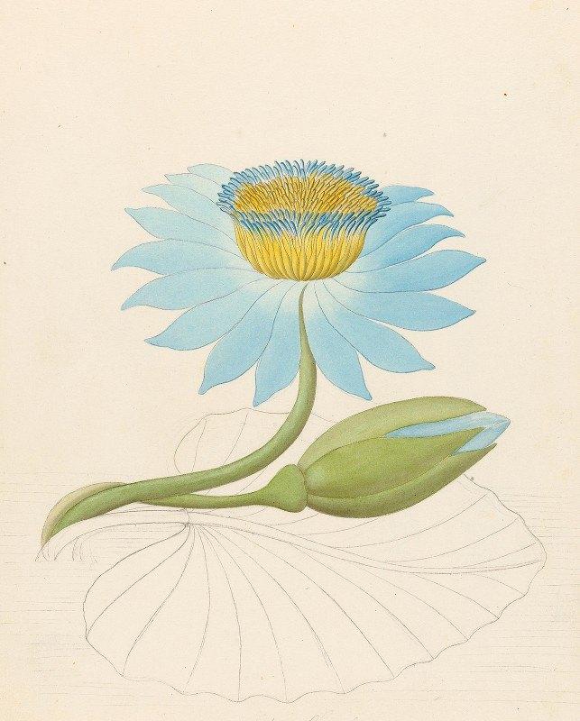 Clemenz Heinrich Wehdemann - Nymphaea coerulea [Nymphaea nouchali]