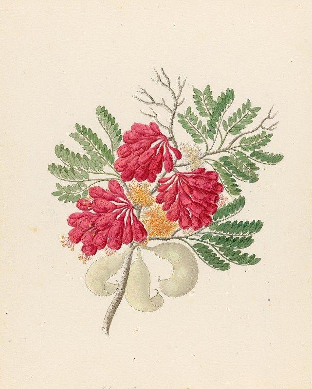Clemenz Heinrich Wehdemann - Schotia speciosa [Schotia afra]