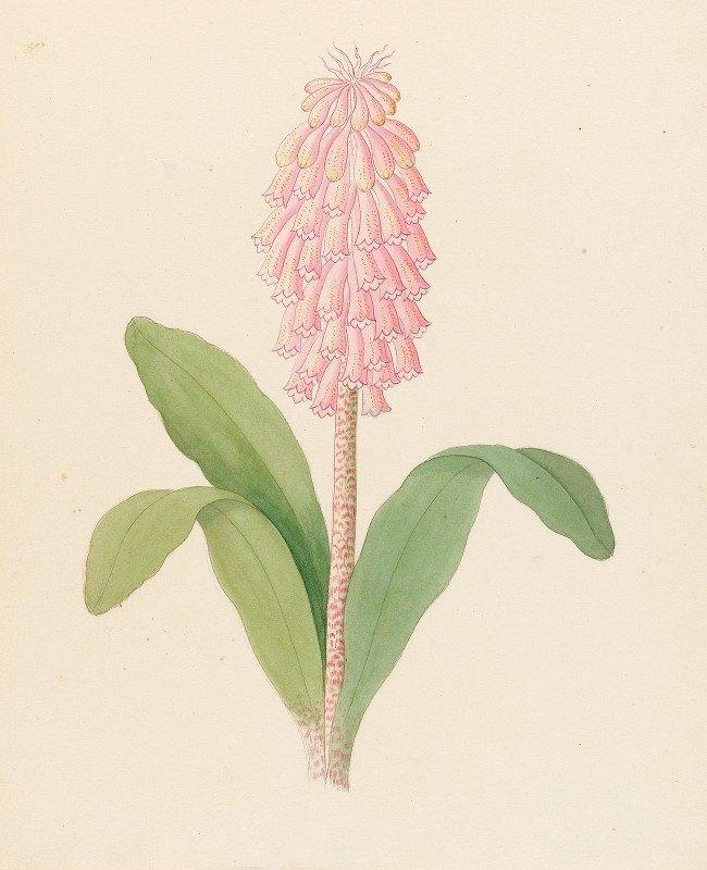 Clemenz Heinrich Wehdemann - Veltheimia viridifolia [Veltheimia bracteata]