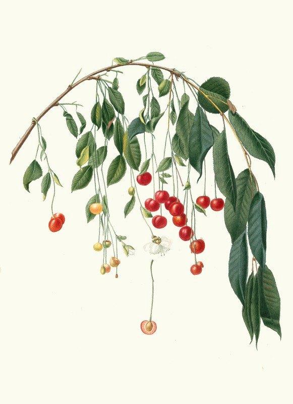 Giorgio Gallesio - Ciliegia Progressiflora. [Cerasus visciola ; Visciola Cherries]