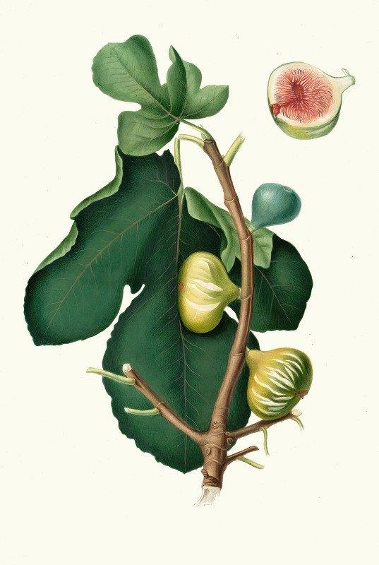 Giorgio Gallesio - Fico Brogiotto. [Fig with white peel ; Ficus carica sativa]