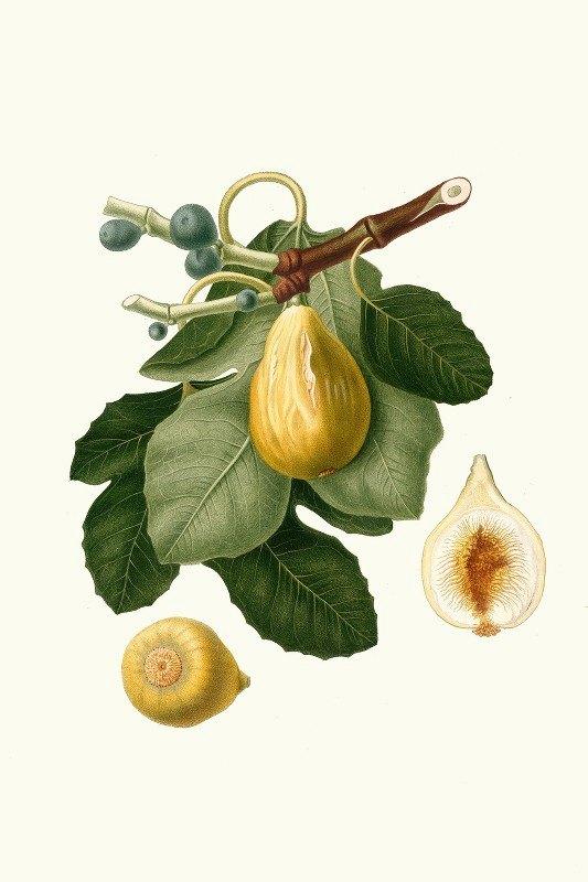 Giorgio Gallesio - Fico gentile. [Ficus carica sativa ; Common Fig]