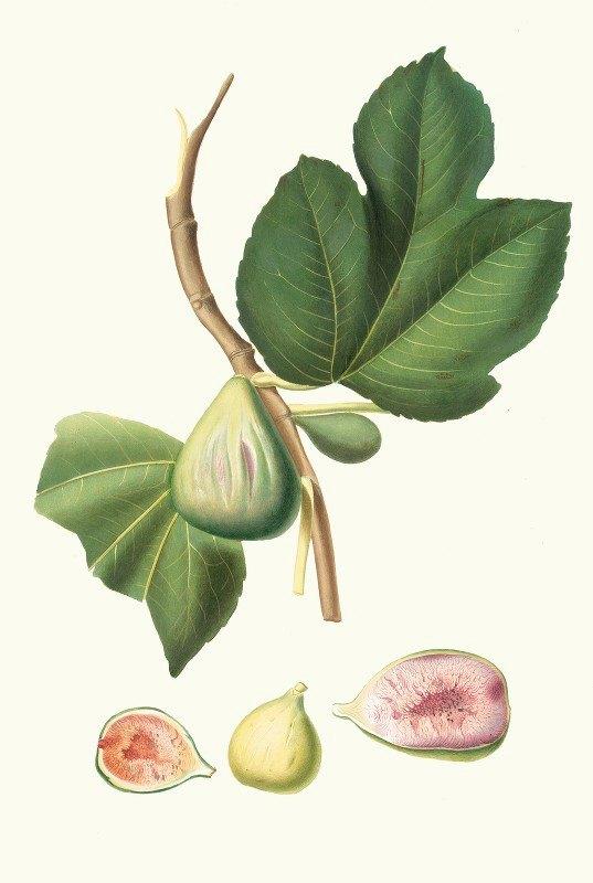 Giorgio Gallesio - Fico paradiseo. [Ficus carica bifera ; Fig]